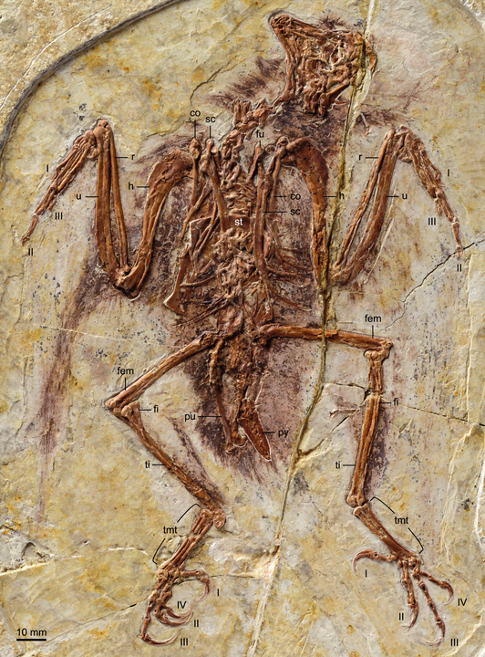 Photograph of the holotype of Zhouornis hani, a type of Enantiornithes