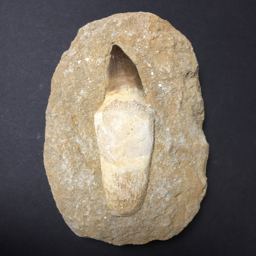 Authentic Large Rooted Mosasaur Tooth in Matrix MOSA5-#MOSA5-1