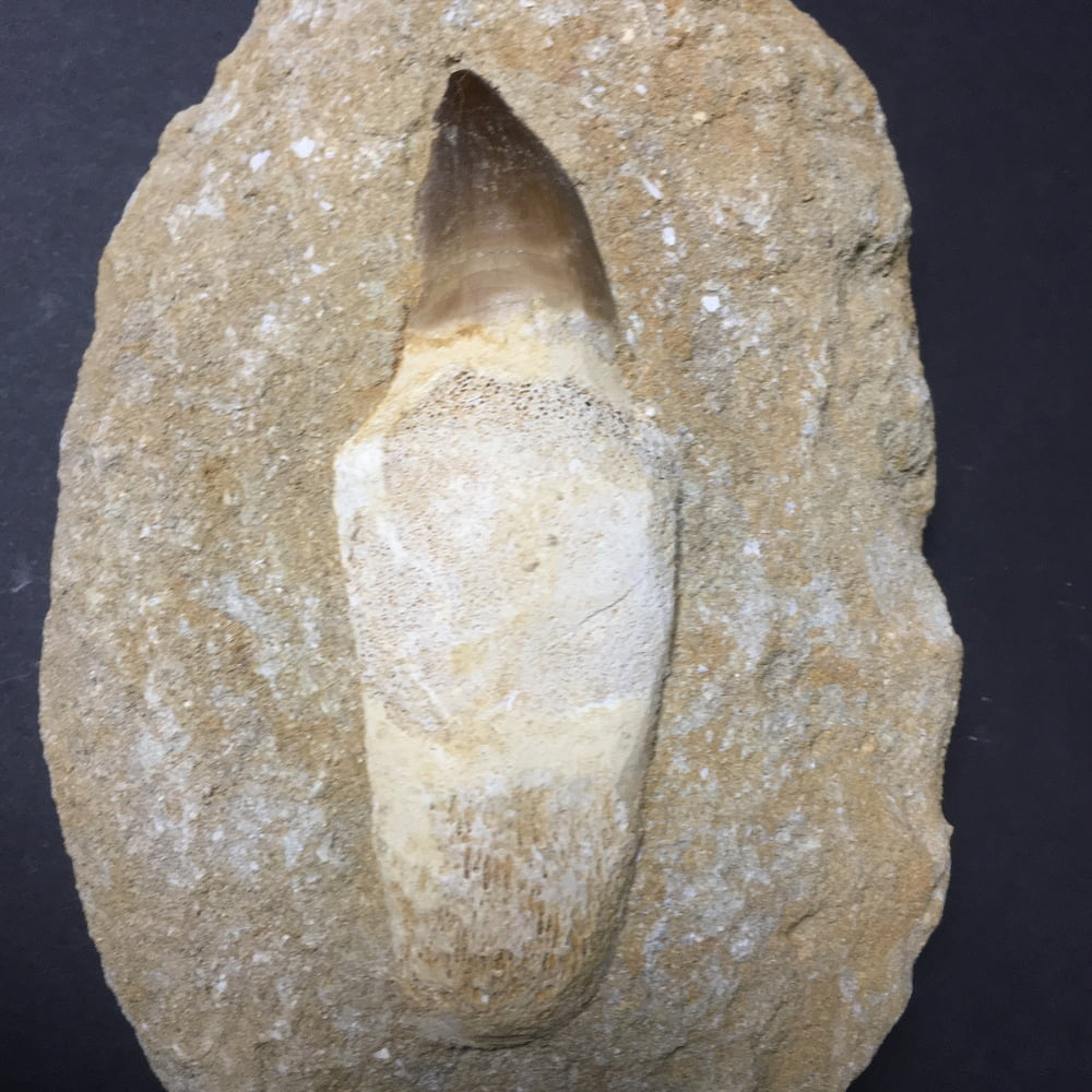 Authentic Large Rooted Mosasaur Tooth in Matrix MOSA5-#MOSA5-2