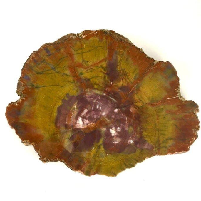 Museum Quality Arizona Rainbow Petrified Wood Polished Large Slice A32-#A32-1