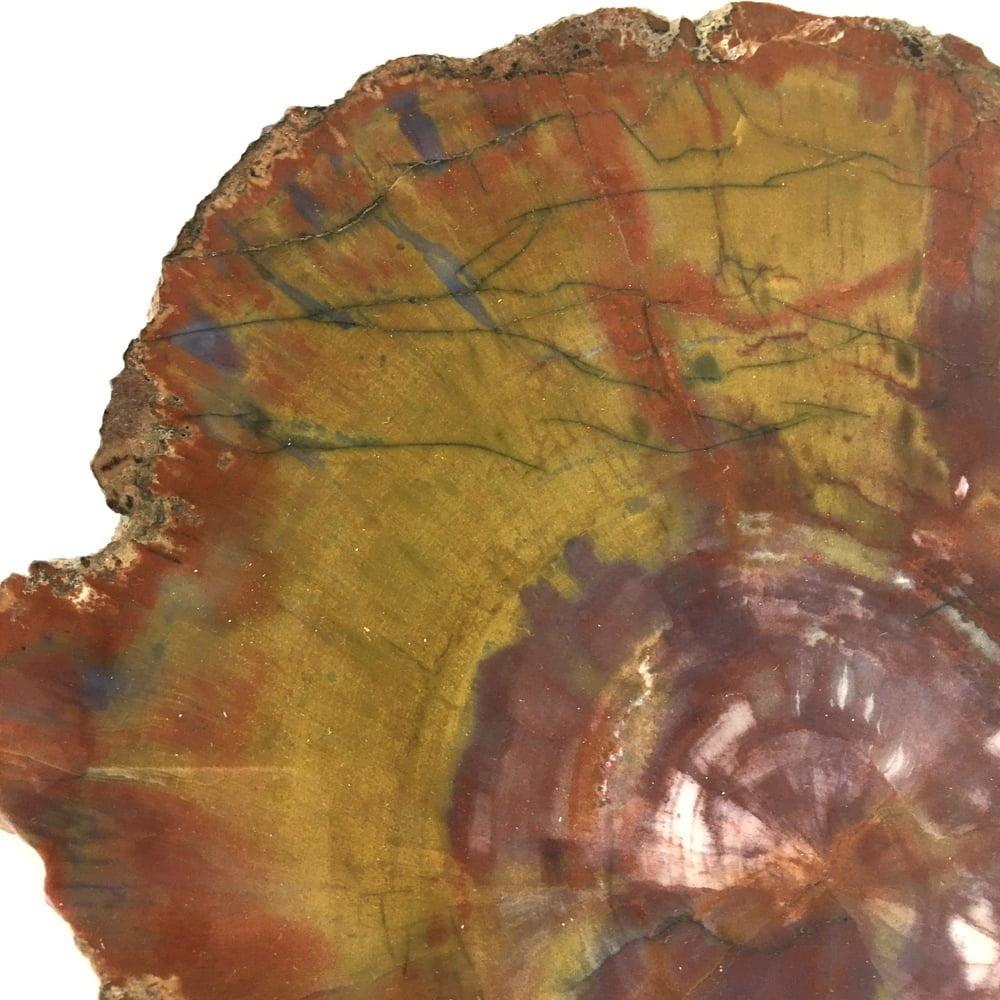 Museum Quality Arizona Rainbow Petrified Wood Polished Large Slice A32-#A32-2