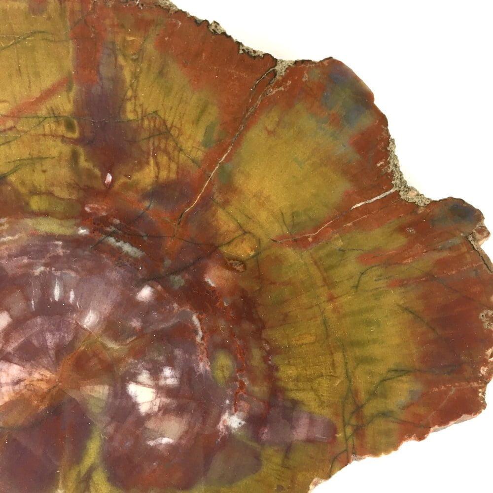 Museum Quality Arizona Rainbow Petrified Wood Polished Large Slice A32-#A32-3